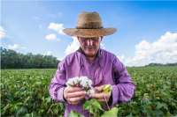 Mr. Newby stands in cotton field